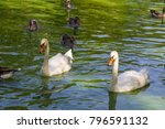 white swans and ducks swimming... | Shutterstock . vector #796591132