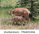 two for lunch   a mule deer doe ... | Shutterstock . vector #796601446