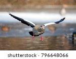Small photo of Egyptian goose, alopochen aegyptiaca