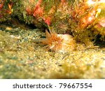 Small photo of Close up view of Berried anemone, Alicia mirabilis, Vermilion Coast, Roussillon, Mediterranean sea, France