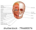 muscles and bones of the face... | Shutterstock .eps vector #796680076