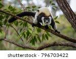 Black And White Ruffed Lemur  ...