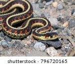 Common Garter Snake  ...