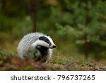 european badger  meles meles in ... | Shutterstock . vector #796737265