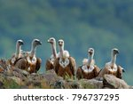 group of vultures. griffon...