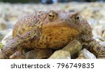 common grumpy toad | Shutterstock . vector #796749835