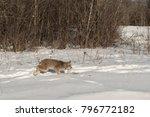 canadian lynx  lynx canadensis  ...   Shutterstock . vector #796772182