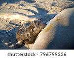 Small photo of Female elephant seal with days old infant pup on a beach in California. Pups nurse about four weeks are weaned abruptly then abandoned by their mother, who heads out to sea within days.