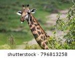 giraffe showing his tongue | Shutterstock . vector #796813258
