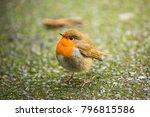 robin redbreast   european... | Shutterstock . vector #796815586