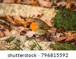 robin redbreast   european... | Shutterstock . vector #796815592