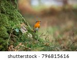 robin redbreast also known as a ... | Shutterstock . vector #796815616