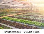 green leaf lettuce and red leaf ...   Shutterstock . vector #796857106