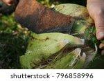 coconut peels in close proximity | Shutterstock . vector #796858996
