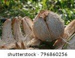 coconut peels in close proximity | Shutterstock . vector #796860256