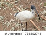 the white ibis has a long black ... | Shutterstock . vector #796862746