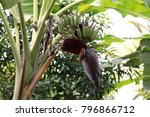 banana tree and banana flower | Shutterstock . vector #796866712