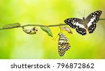 Small photo of Lime butterfly or Lemon butterfly (Papilio demoleus) life cycle, from caterpillar to pupa and its adult form