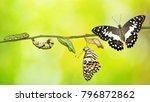lime butterfly or lemon... | Shutterstock . vector #796872862