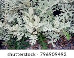 senecio cineraria  dusty miller ... | Shutterstock . vector #796909492