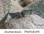 two rock hyraxes sitting back... | Shutterstock . vector #796918195