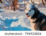 Husky Dog With Blue Eyes Sits...