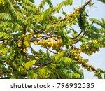 thai folk fruit.star gooseberry ...   Shutterstock . vector #796932535
