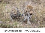 male and female leopard getting ... | Shutterstock . vector #797060182