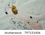 dead cimicidae. bed bug home... | Shutterstock . vector #797151406