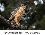 Cooper's Hawk At Belmar Park ...
