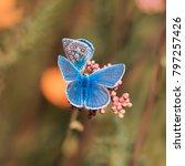 Two Beautiful Blue Butterfly...