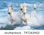 white camargue horses galloping ... | Shutterstock . vector #797263402