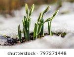 Closeup Of Snowdrop Flowers...