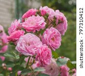 pink roses grow and bloom in... | Shutterstock . vector #797310412