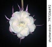 The Exotic White Cactus Flower...