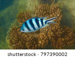 Small photo of A Sergeant Major or píntano fish (Abudefduf saxatilis) swims on the Great Barrier Reef, Australia earns its name from its brightly striped sides, which are reminiscent of the insignia of military