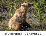 golden grizzly bear having an... | Shutterstock . vector #797398612