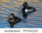 Ring Necked Ducks On Colorado\'...