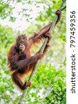 bornean orangutan on the tree....   Shutterstock . vector #797459356