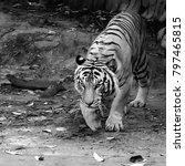 the malayan tiger  panthera... | Shutterstock . vector #797465815