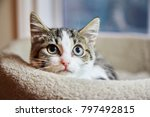 Stock photo brown and white tabby kitten sitting in a cat bed and looking to the camera 797492815