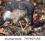 a sharp shinned hawk feasts on... | Shutterstock . vector #797507155
