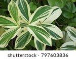beautiful tree for ornamental...   Shutterstock . vector #797603836