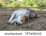 Dirty Jack Russell Dog In A Mu...