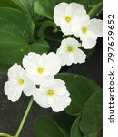 beautiful white flower of... | Shutterstock . vector #797679652