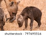 young spotted hyena cub in... | Shutterstock . vector #797695516