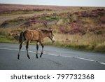 Small photo of An emaciated and thin Exmoor pony, Exmoor, UK.