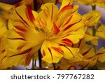close up fluffy red yellow...   Shutterstock . vector #797767282