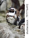 Small photo of African penguin (Spheniscus demersus) molting at Betty's Bay, near Cape Town, South Africa