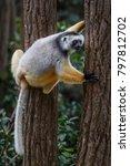 diademed sifaka   propithecus... | Shutterstock . vector #797812702
